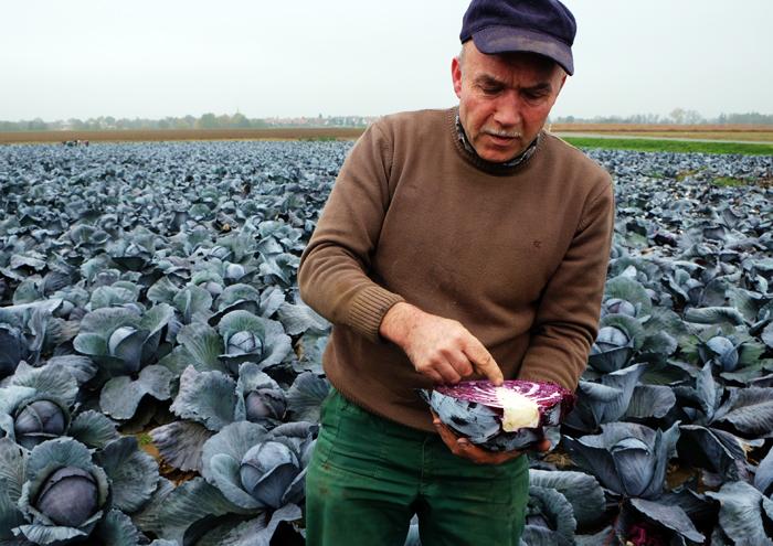 Bauer Strauß erklärt uns wie der Rotkohl wächst